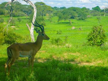 タンザニア・ンゴロンゴロ国立公園サファリで木陰から草原を見つめる雄インパラ