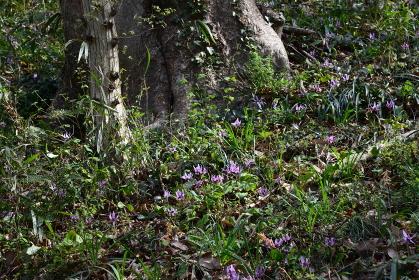 春の木漏れ日を浴びて美しく咲くカタクリ