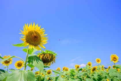 夏の青空の素敵なひまわり畑