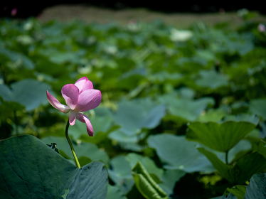 ピンク色の花が咲く古代蓮 7月