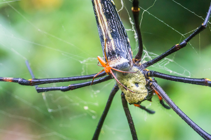 Giant Orb Web Spiders are having Sex