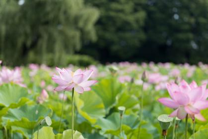 美しい蓮の花 7月 古河公方公園