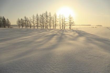 雪原のカラマツ防風林