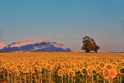 Sunflower field under the midsummer sun. Mezkia village-Alava province-Basque Country-Spain-50