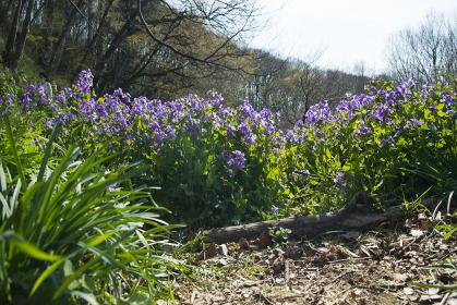 美しい紫色の花を咲かせたハナダイコン
