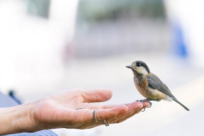 人の手に留まる鳥(ヤマガラ)