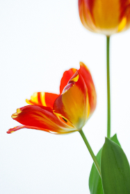 Tulip Flowers on a white background flat lay