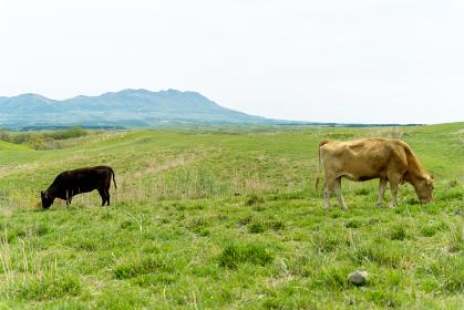 阿蘇の大自然の中に放牧され育つ牛
