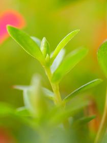 カラフルな小さい花ハナスベリヒユの葉