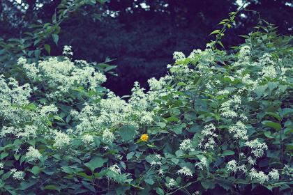 玉川上水緑道の植物