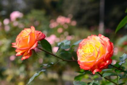 輝きを放つオレンジ系の色のバラ