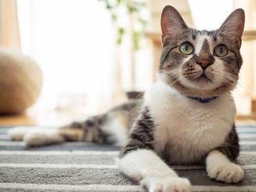 リビングルームの床の上でくつろぐ猫