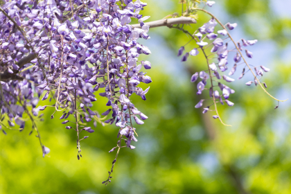 新緑と薄紫色のフジの花