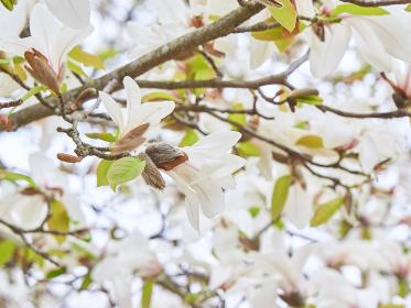 たくさん咲いている白いコブシの花