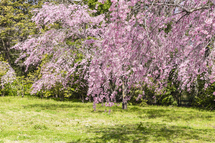 桜と青葉城址