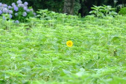 向日葵畑に一輪だけ咲くひまわり