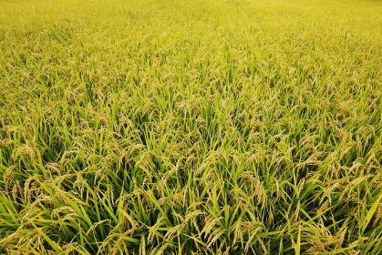 収穫の秋 黄金色に輝く稲穂