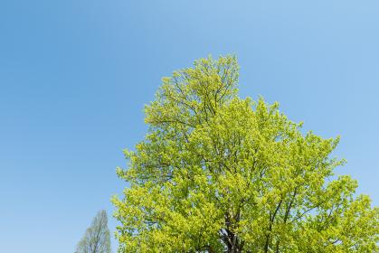 青空と新緑の木 4月