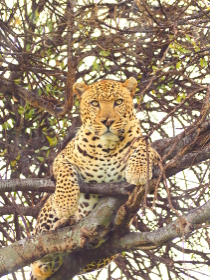 ケニアのマサイマラ国立保護区の木の上のレパード