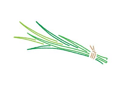 こどもの日・菖蒲湯に使う葉菖蒲のイラスト