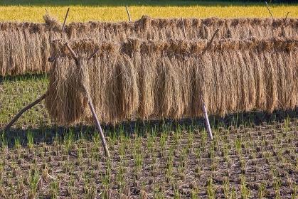 稲刈り後の風景 はさ掛け