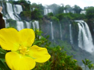 アルゼンチン・ブラジル国境エリアのイグアスの滝にて大小無数の滝と黄色い花