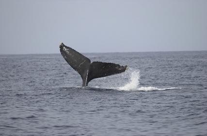 シロナガスクジラのしっぽ