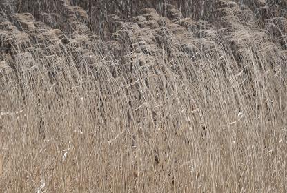 風になびくヨシの群生(札幌市西岡公園)