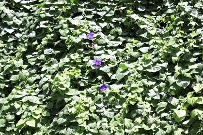 住宅の壁一面に着生したアサガオとアサガオの葉