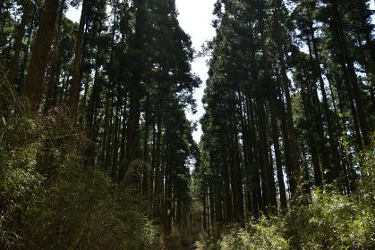 鬱蒼と茂る杉の森