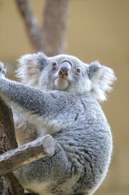 木登りするコアラ 合格祈願
