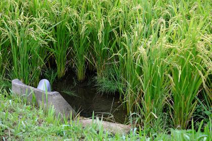 水上で育つ元気な稲