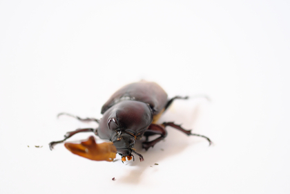 角に皮が残るカブトムシのオス、白背景
