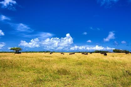 沖縄県・黒島 夏の牧草地と牛の風景