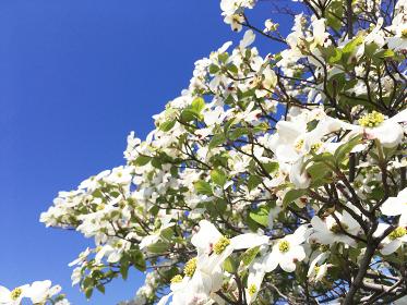 青空とハナミズキの花 3