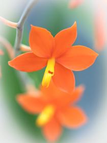 洋ランの花