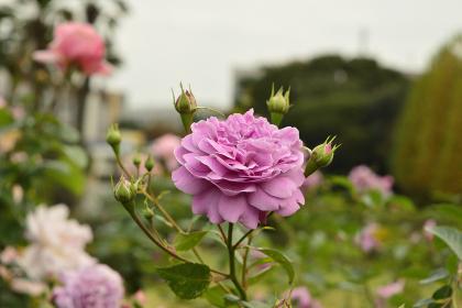 秋の公園で観察できる美しいバラ(東京・2020年秋)