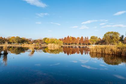 早朝の公園の風景 池と紅葉した木々 11月