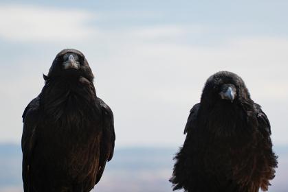 アメリカ・グランドサークルにてこちらを見つめる二羽の並んだカラス