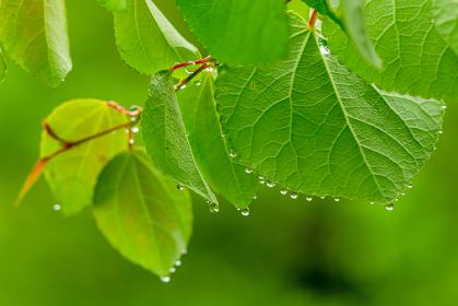 新緑と水滴