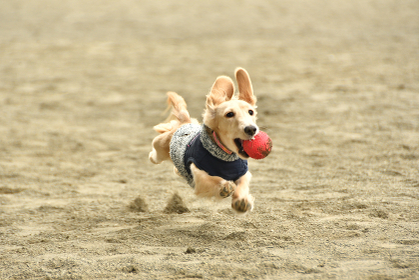 全力で走る犬