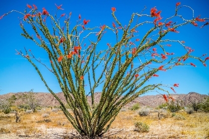 A spiny stems Ocotillo in Joshua National Park, California