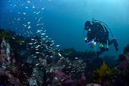 魚を観察するダイバー