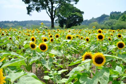 鹿児島市都市農業センターのひまわり畑