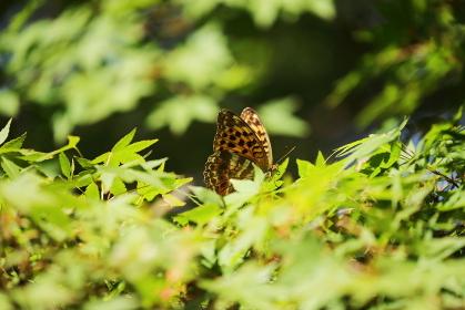 モミジの葉の上で休むヒョウモンチョウ