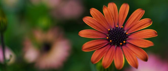 オレンジ色の花、オステオスペルマム、アフリカキンセンカ。