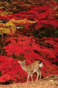 奈良公園 飛火野の紅葉と鹿