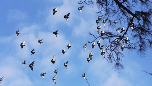 青空を舞う数十羽の鳩の群れ