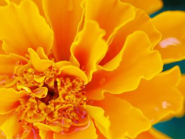 鮮やかなオレンジ色のマリーゴールド