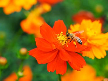 色鮮やかオレンジ色の花キバナコスモスとミツバチ